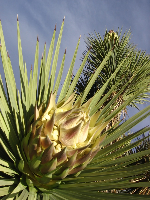Joshua trees bloom in late-Winter, with most blooms gone by the first day of Spring.