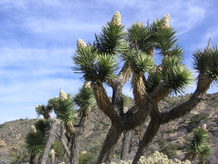A Joshua tree forest. As you can see, Joshua trees are not fit for climbing, unless you're wearing a full-leather suit.