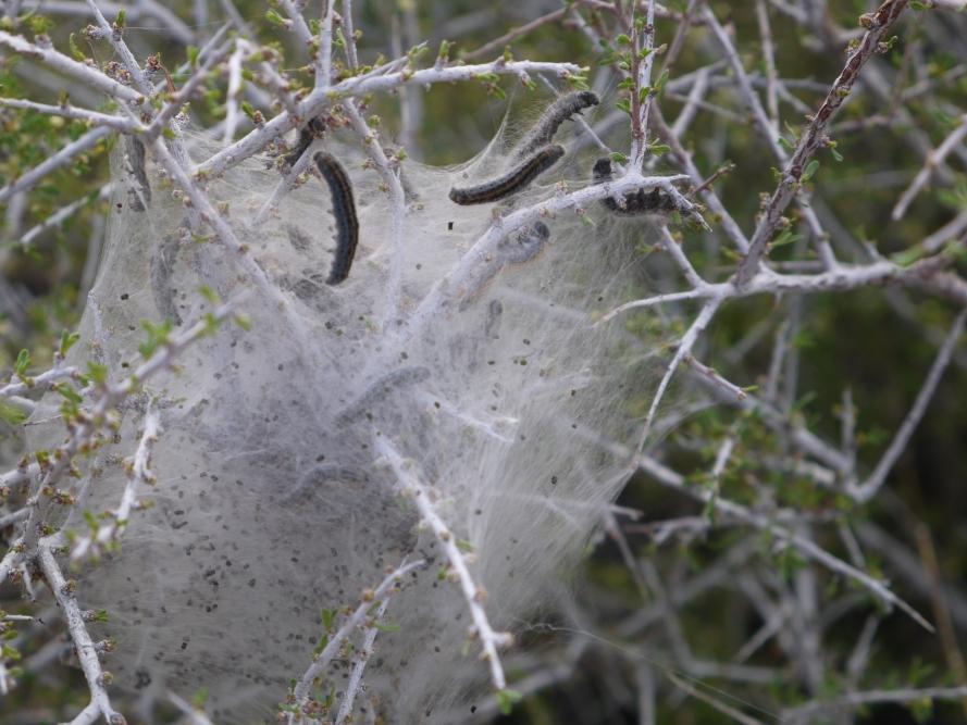 Western Tent Caterpillars