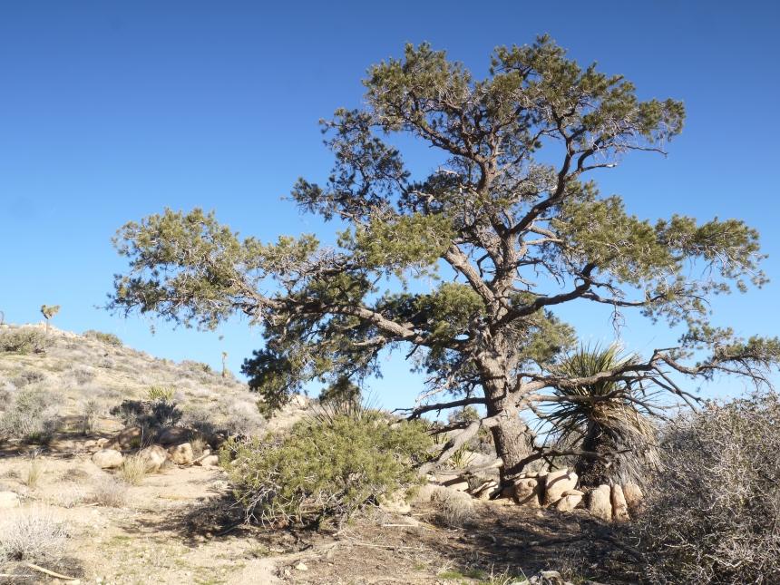 Lounge beneath a pine tree.