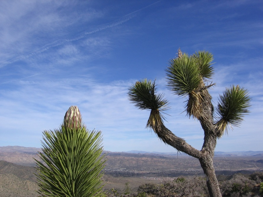 I wonder if Dr. Seuss saw these trees before illustrating his famous books?