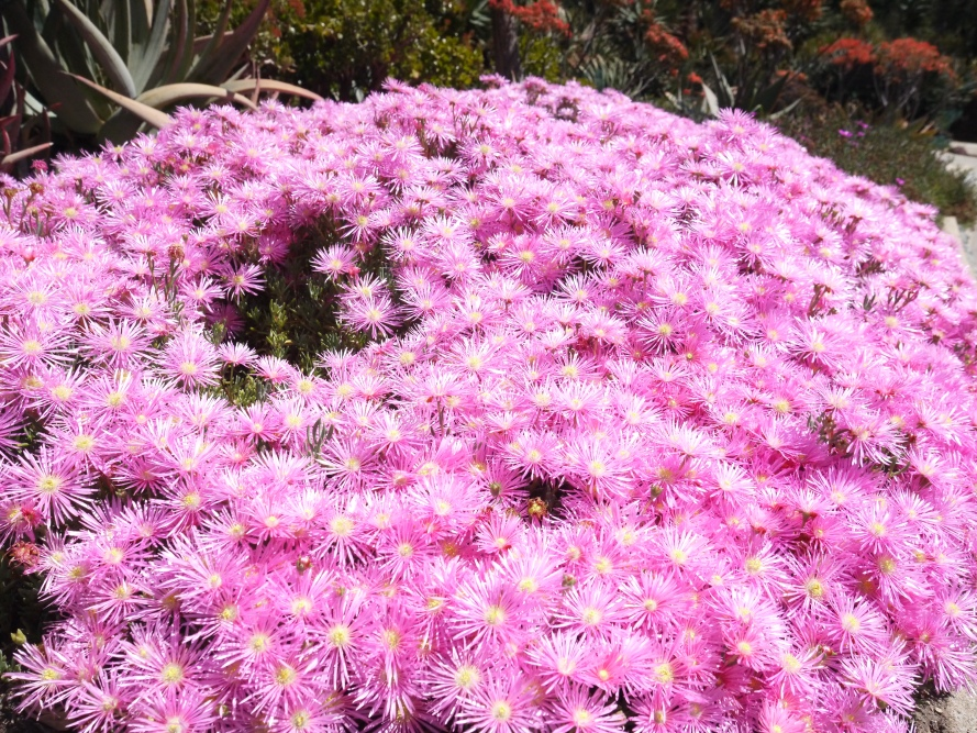Speaking of Pinkie, these bright pink flowers nearly blinded me, in the Desert Garden.