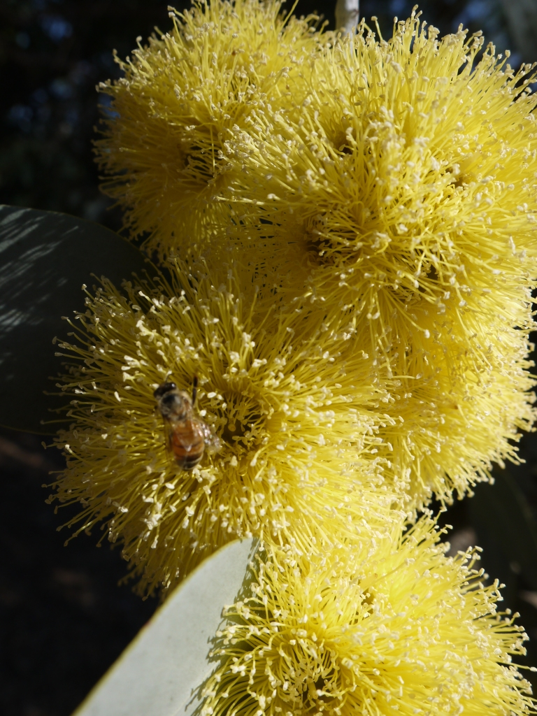 A bloom on a Eucalyptus tree, in the Australian Garden.