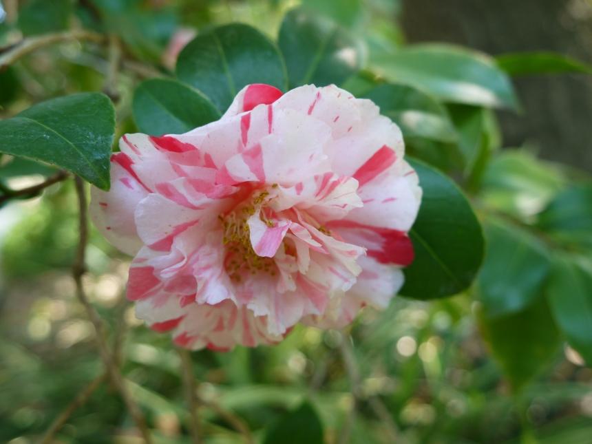 A camellia in the Japanese Garden.
