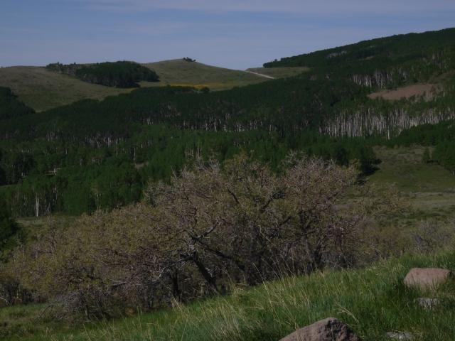 Aspen forest along Highway 12.