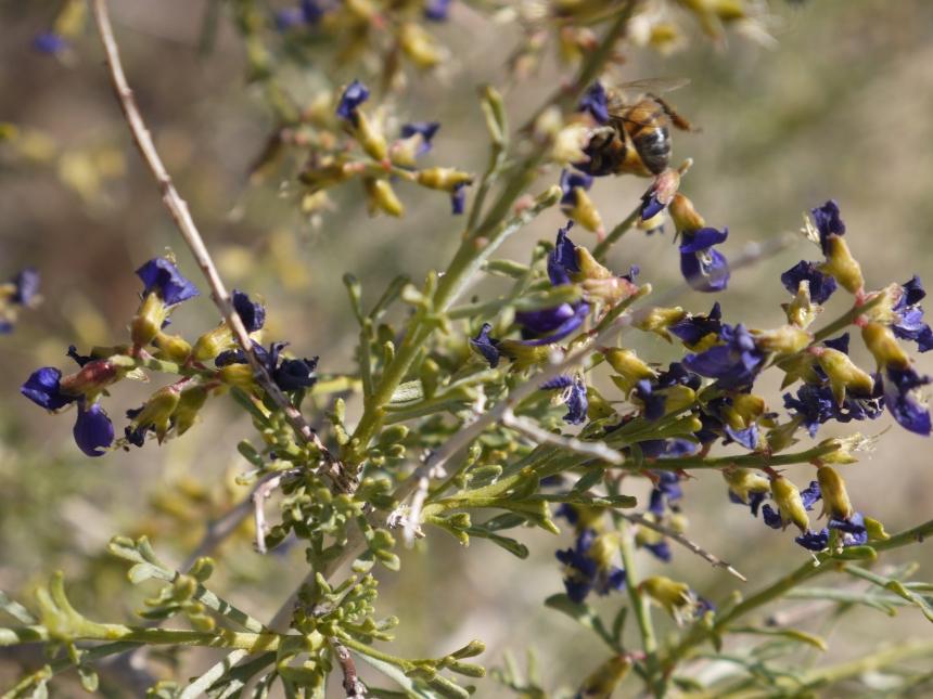 Bees love Purple Sage, also.